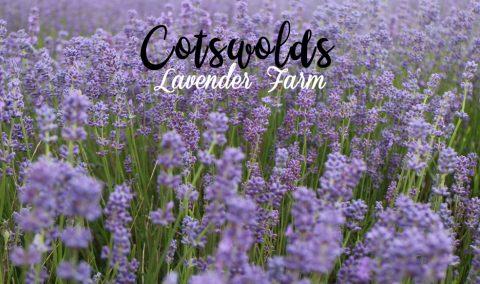 cotswolds_lavender1